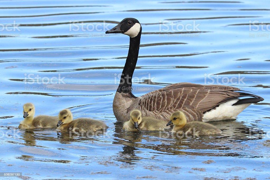 Momma Goose stock photo