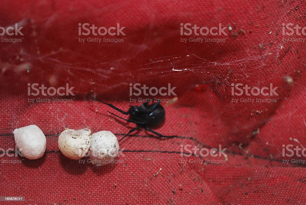 Momma Spider royalty-free stock photo