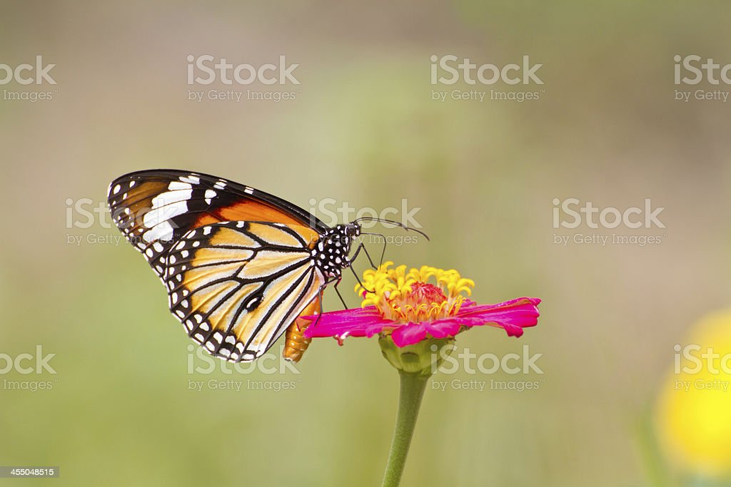 Monach butterfly on zinnia flower royalty-free stock photo