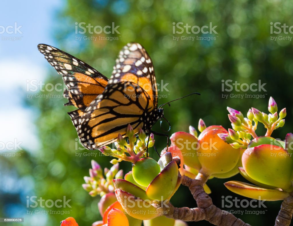 Monach Butterfly Sitting on a Jade Plant stock photo