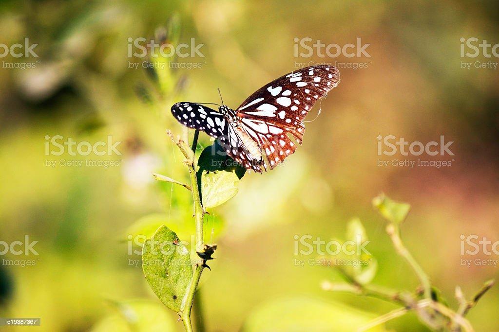 Monarc butterfly stock photo