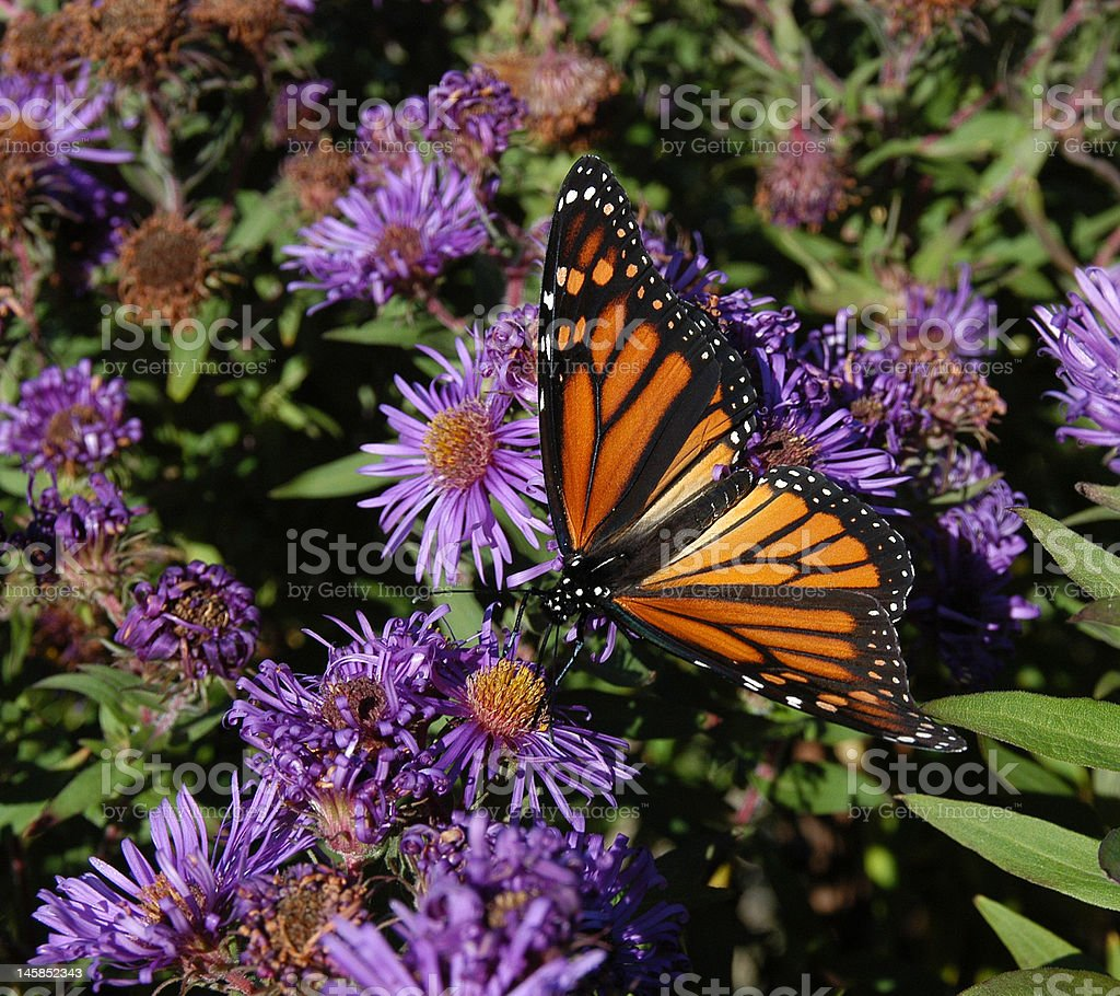Monarch Amidst the Purples royalty-free stock photo