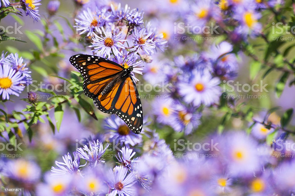 Monarch and Asters royalty-free stock photo