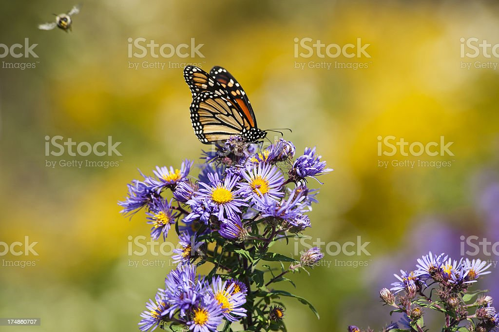 Monarch and Bumblebee royalty-free stock photo
