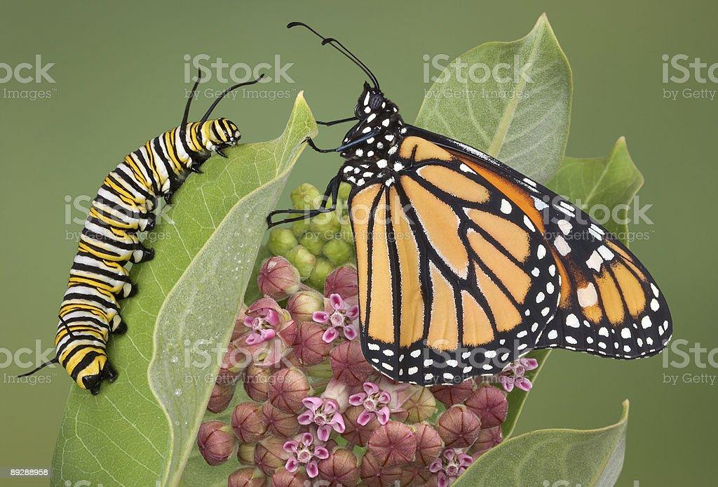 Monarch and caterpillar on milkweed plant stock photo