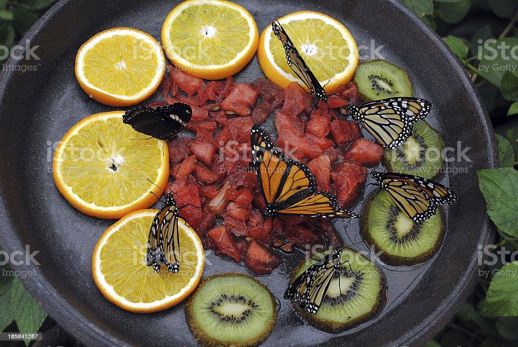 Monarch butterflies feeding royalty-free stock photo