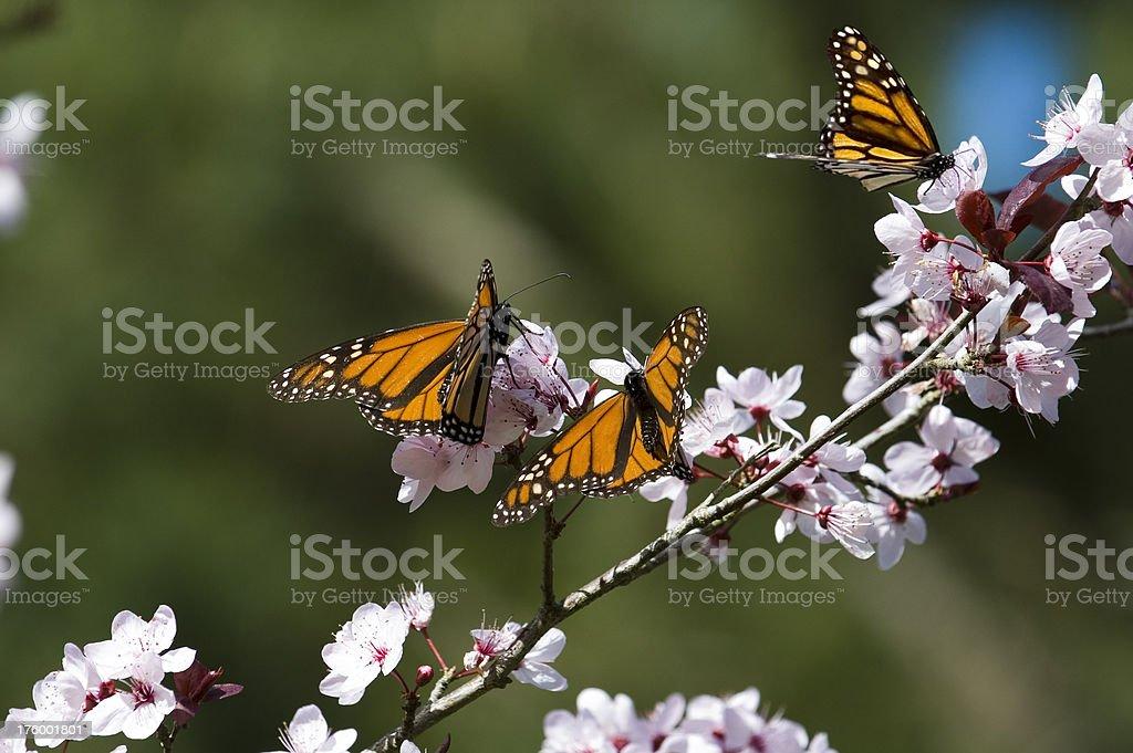 Farfalle monarca in fiori di ciliegio foto stock royalty-free