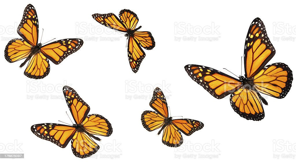 Monarch butterflies in different flying positions stock photo
