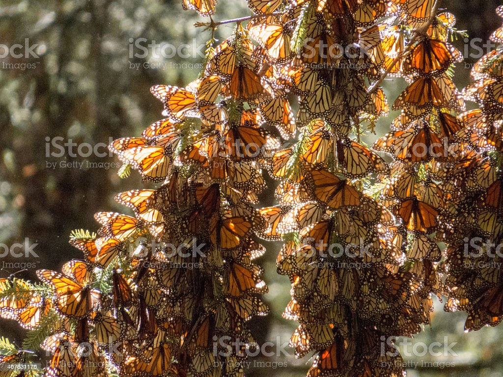 Monarch butterflies in their wintering grounds stock photo