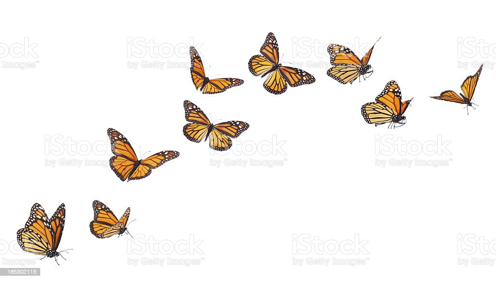 Monarch Butterflies in various flying positions isolated on white royalty-free stock photo