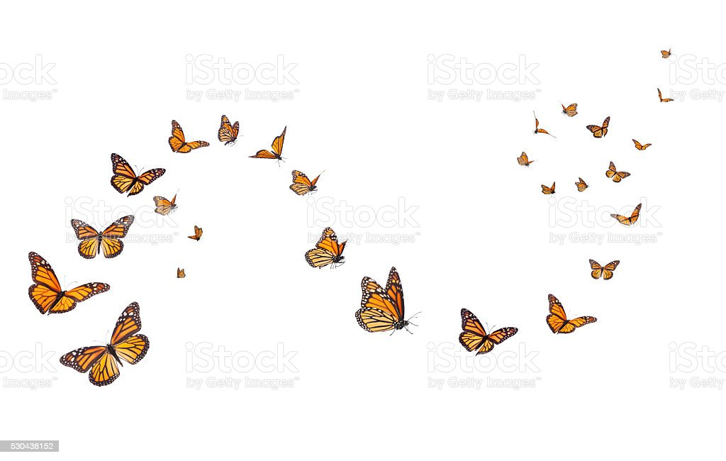 Monarch Butterflies Isolated on White stock photo