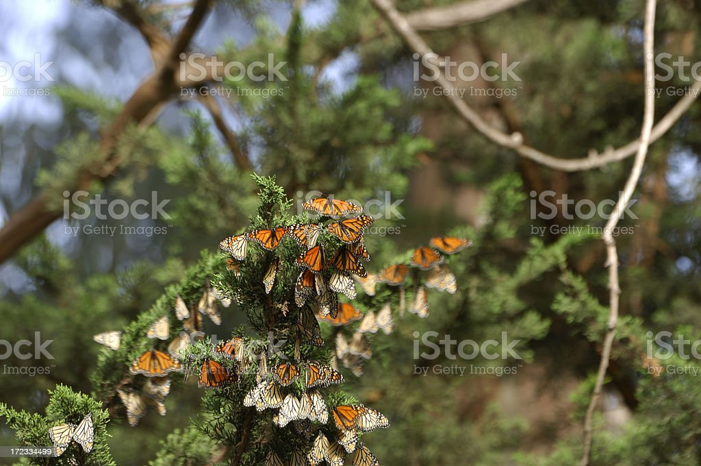 Monarch Butterflies on Branch royalty-free stock photo