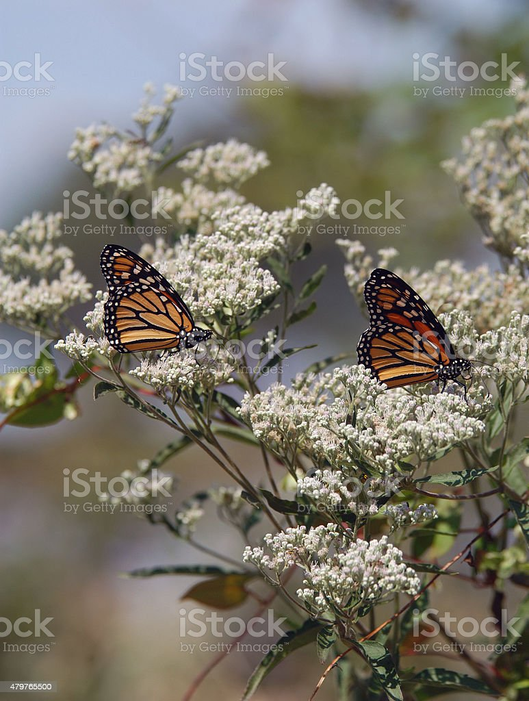 Monarch Butterflies on Milkweed stock photo