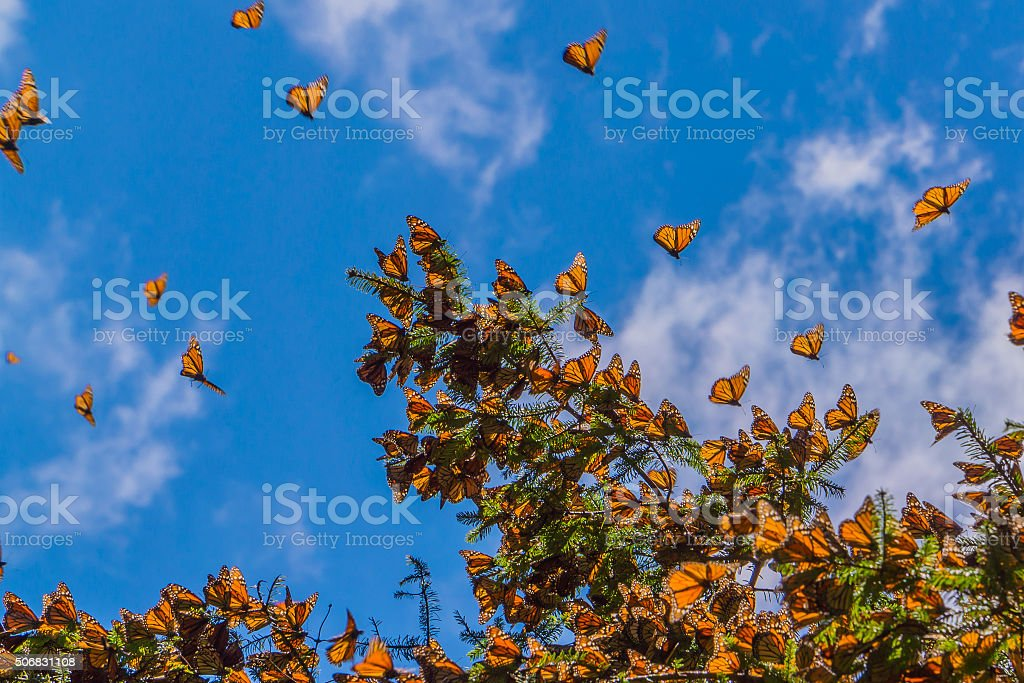 Monarch Butterflies on tree branch in blue sky background stock photo