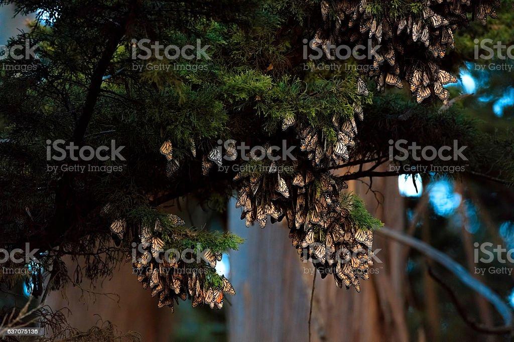 Monarch Butterflies on tree branch in Santa Cruz, California stock photo
