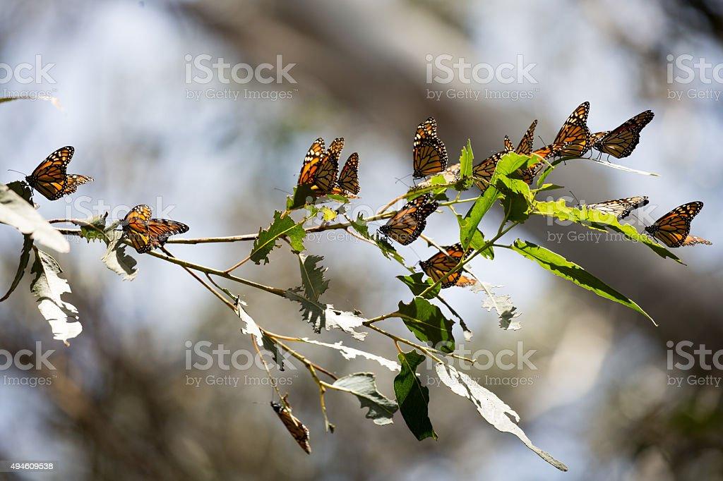 Monarch Butterflies (Danaus plexippus) stock photo