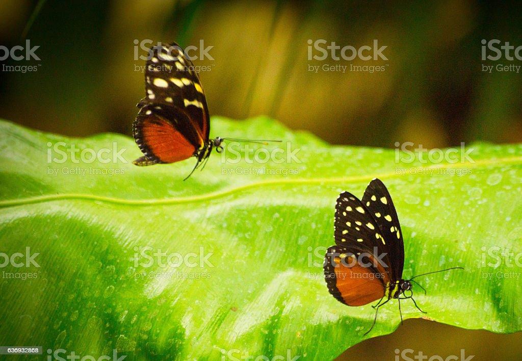 Monarch butterflies stock photo