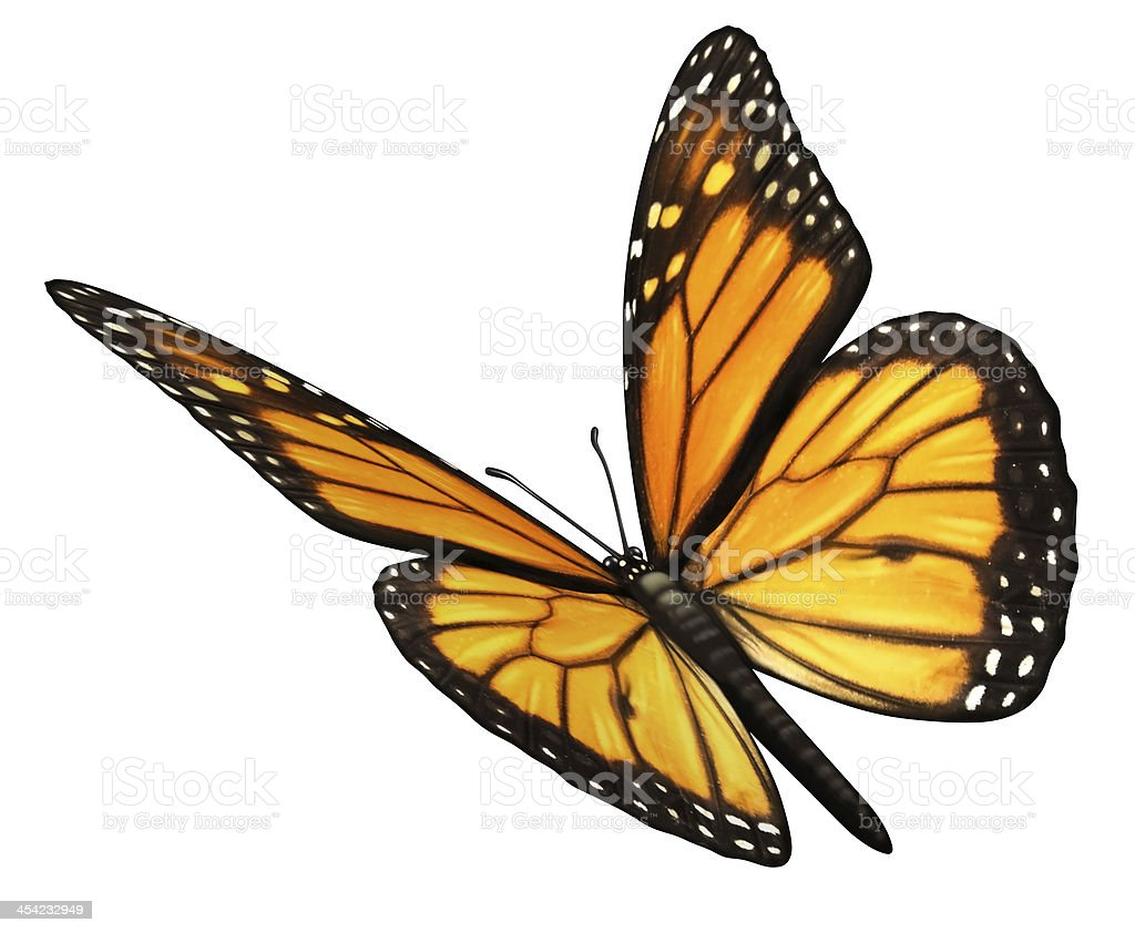 Monarch Butterfly Angled stock photo