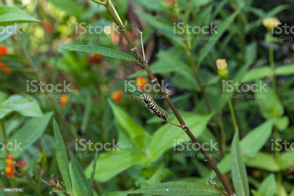Monarch butterfly caterpillar feeding on milkweed plant stock photo