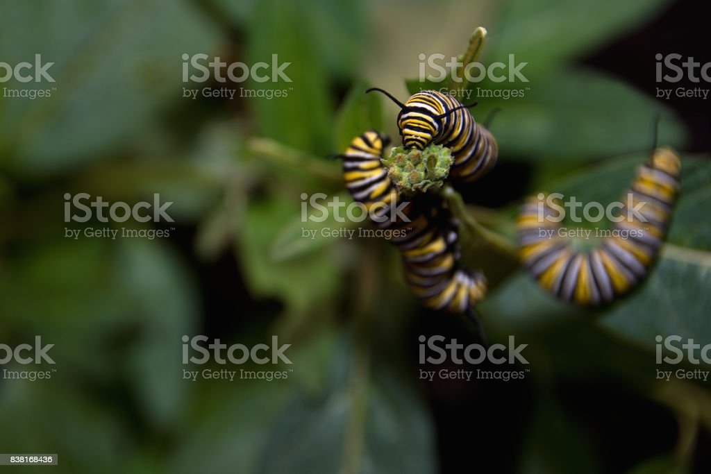 Monarch butterfly caterpillar feeding on milkweed plant stock photo