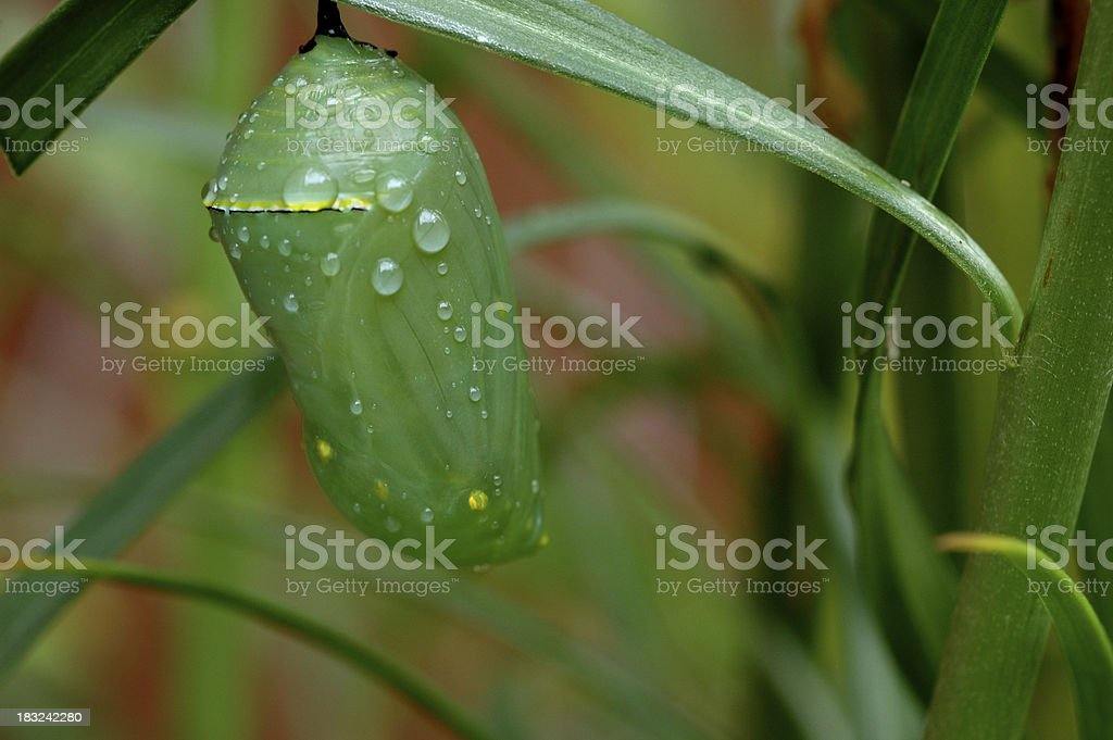 Monarch Butterfly Chrysalis ( Cocoon) stock photo