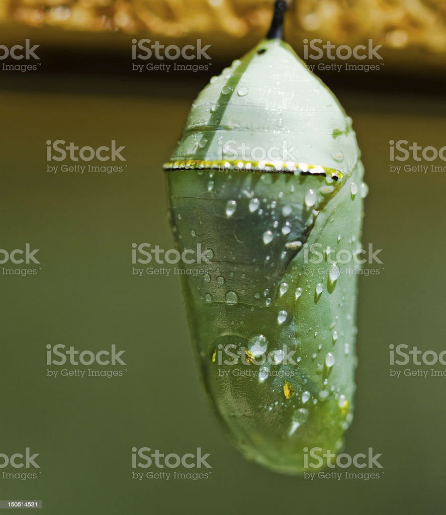 Monarch butterfly cocoon stock photo