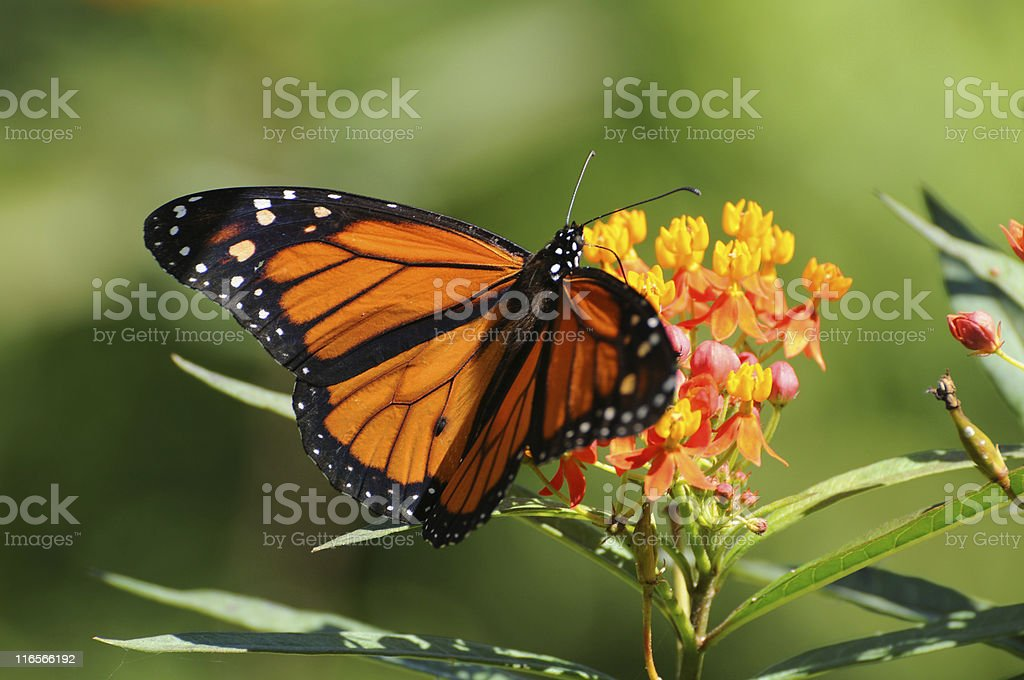 monarch butterfly, Danaus plexippus stock photo