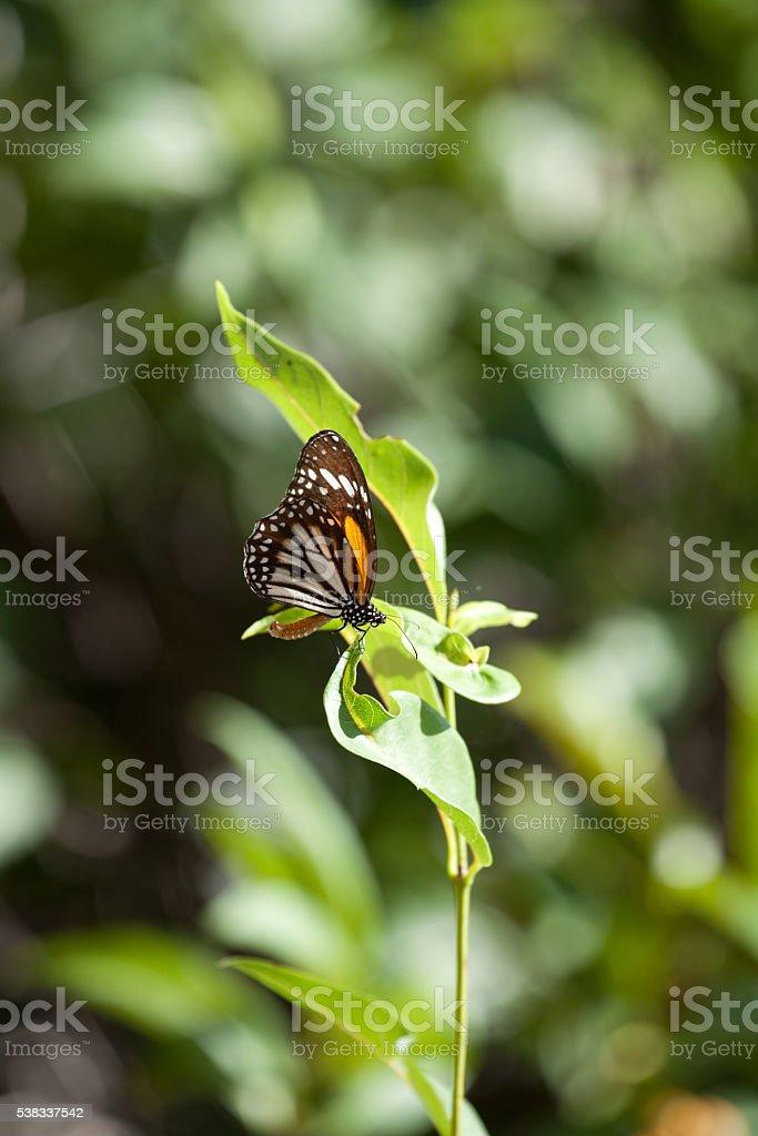 Monarch butterfly Danaus plexippus with Natural green background. stock photo