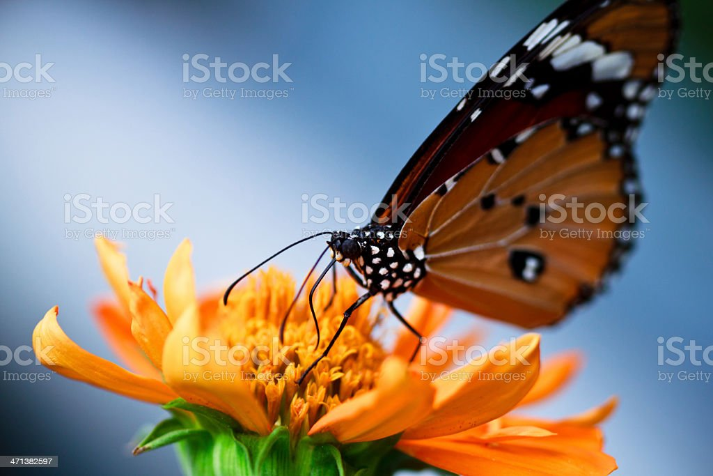 Monarch Butterfly Drinking Nectar on orange Flowers royalty-free stock photo