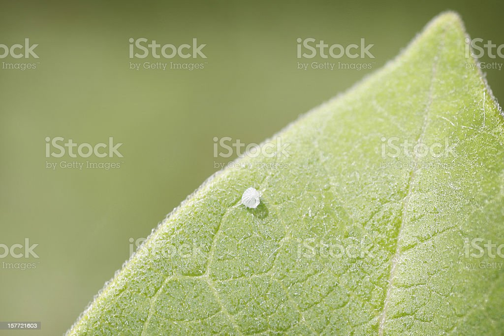 Monarch Butterfly Egg on Milkweed Leaf stock photo