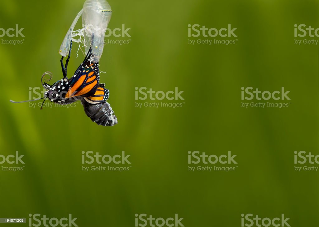 Monarch butterfly emerging from cocoon stock photo