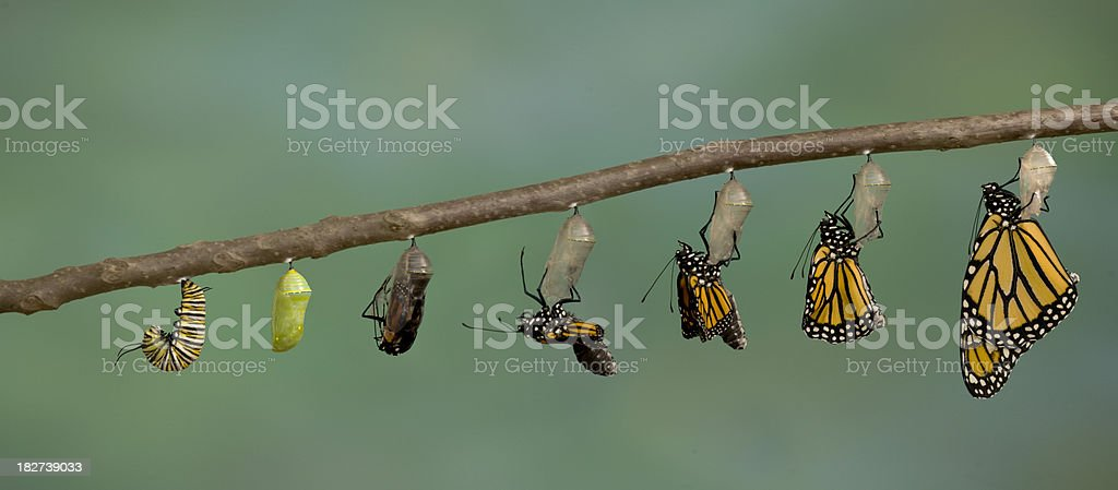 Monarch Butterfly emerging from it's chrysalis stock photo