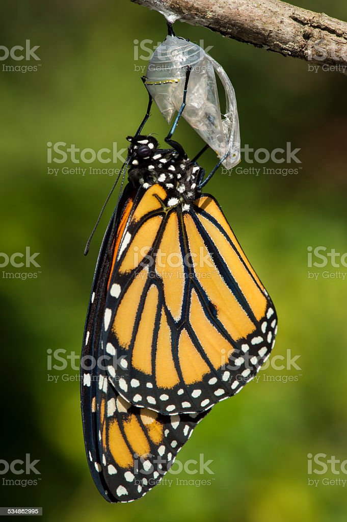 Monarch butterfly emerging stock photo