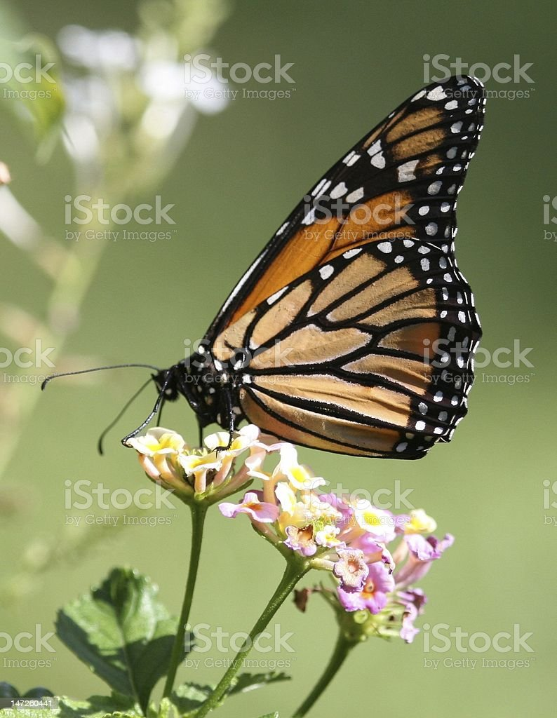 Monarch butterfly enjoying a nectar snack. stock photo