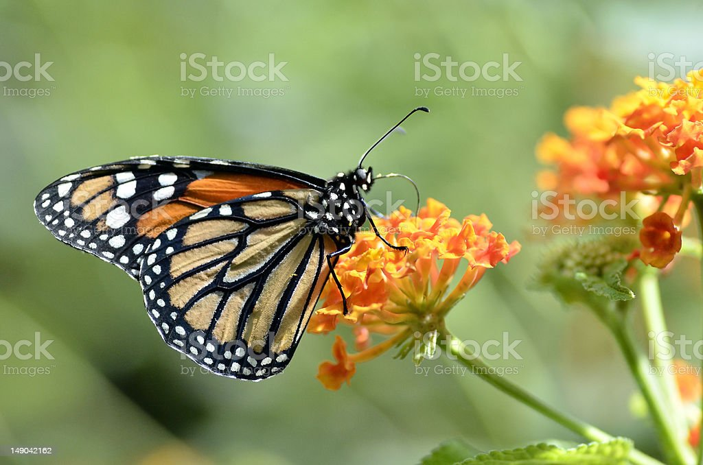 Monarch butterfly feeding on flower royalty-free stock photo