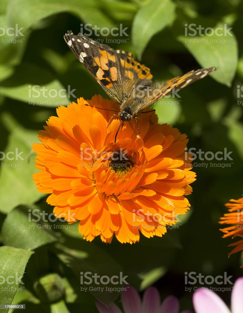 Monarch Butterfly Feeding on Garden Flower royalty-free stock photo