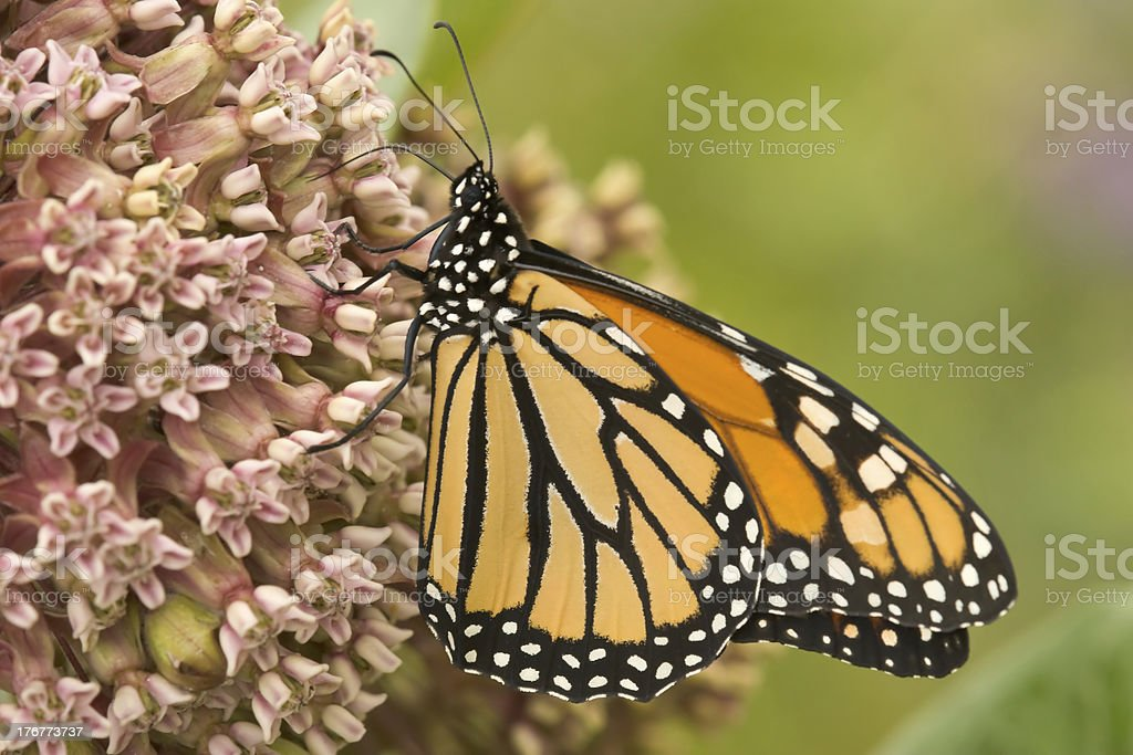 Monarch butterfly feeding on milkweed stock photo