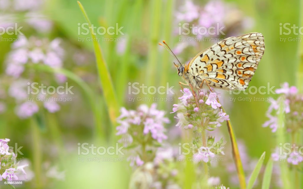 Monarch butterfly feeding stock photo