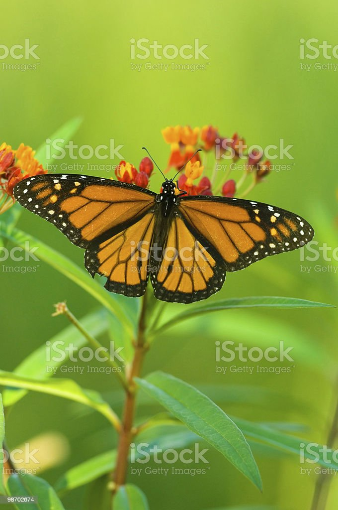 monarch butterfly feeding royalty-free stock photo