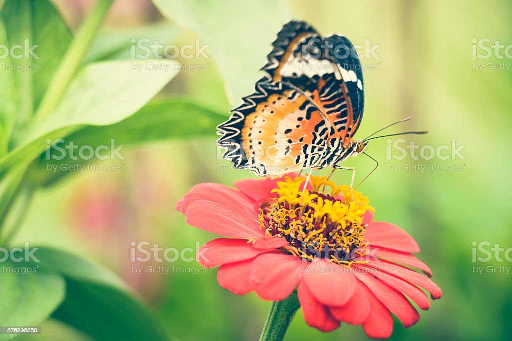 Monarch Butterfly feeding syrup on zinnia flower stock photo