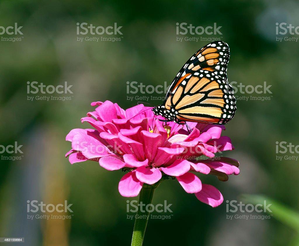 Monarch Butterfly Feeds on a Zinnia Flower stock photo