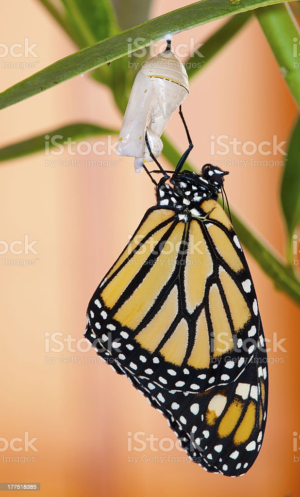 Monarch butterfly hanging from cocoon with green leaves stock photo