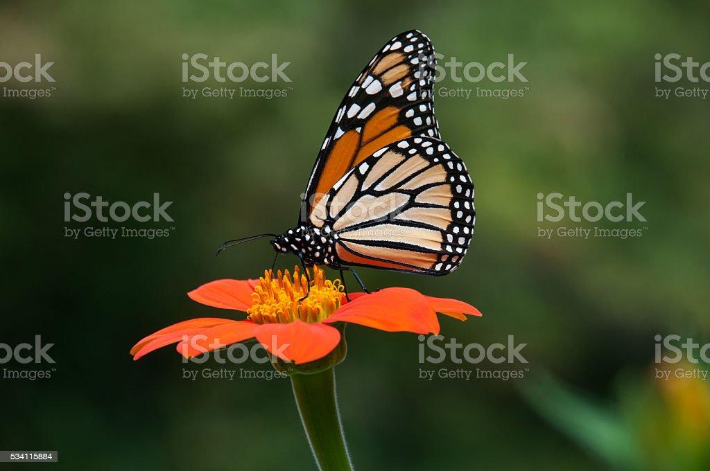 Monarch Butterfly Hangs On stock photo