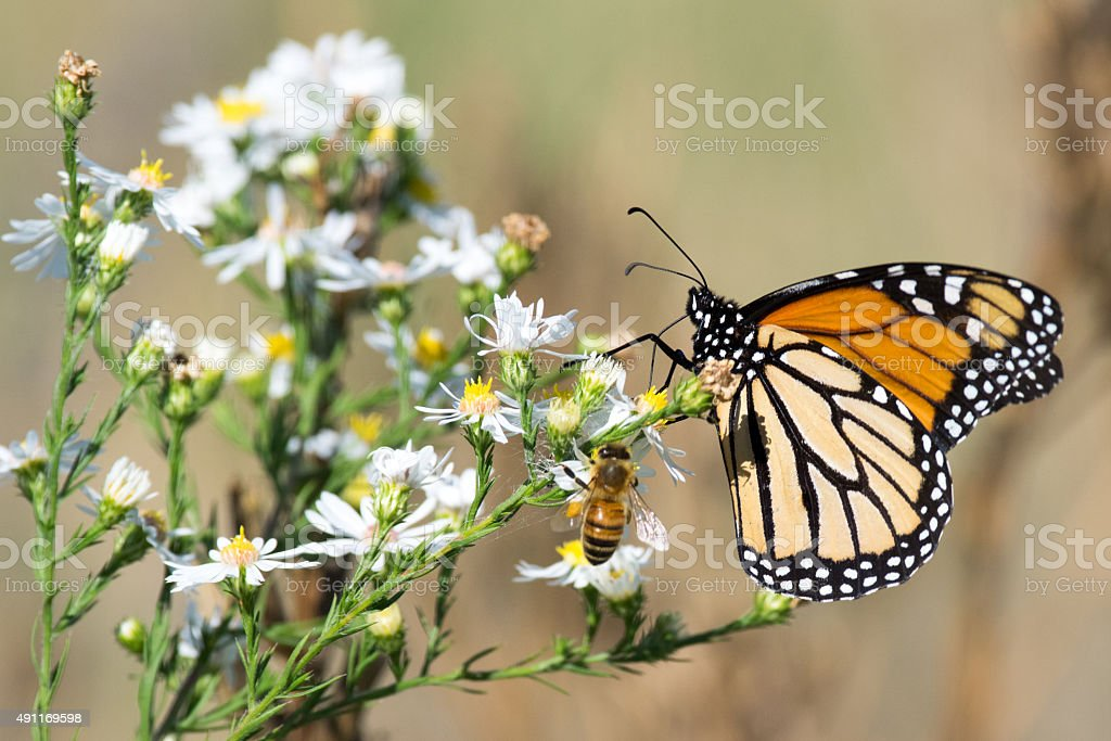 Monarch Butterfly, Honey Bee, and White Flowers stock photo