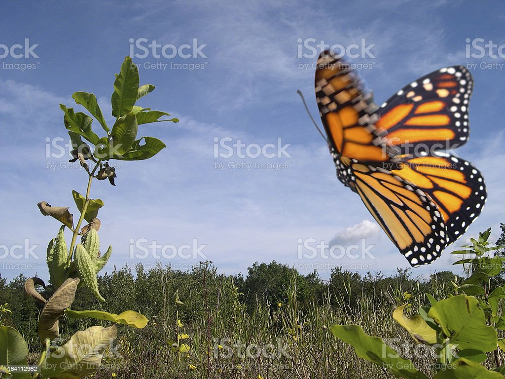Monarch Butterfly in Flight stock photo