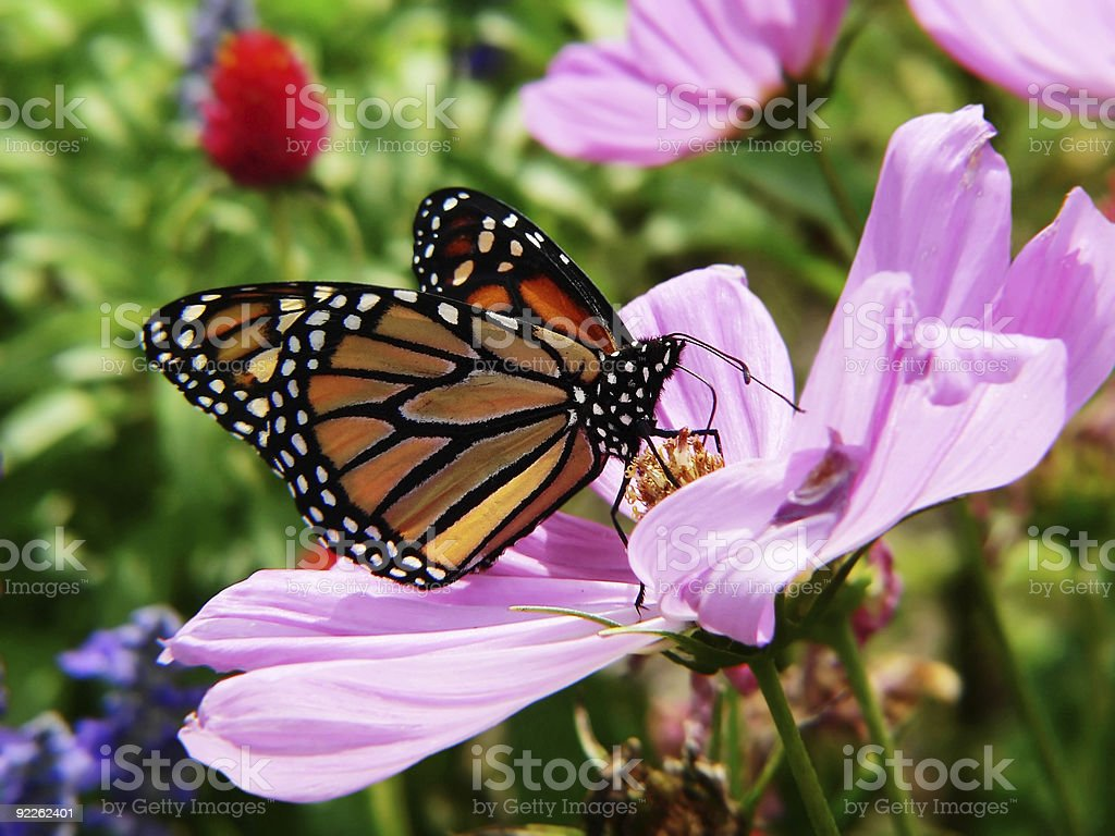 monarch butterfly in garden stock photo