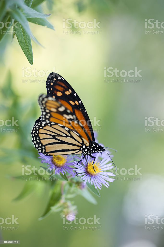 Monarch butterfly in natural setting feeding royalty-free stock photo