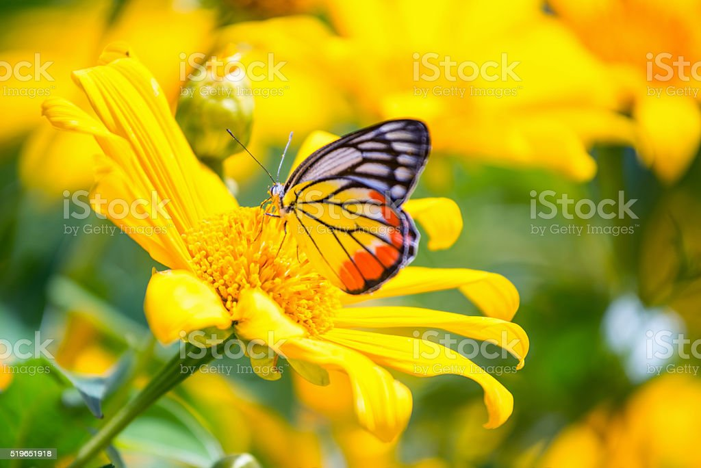 Monarch butterfly in sunflower flower. Macro closeup stock photo