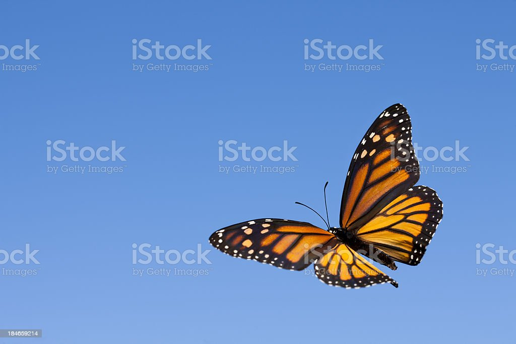 Monarch Butterfly in the Sky stock photo