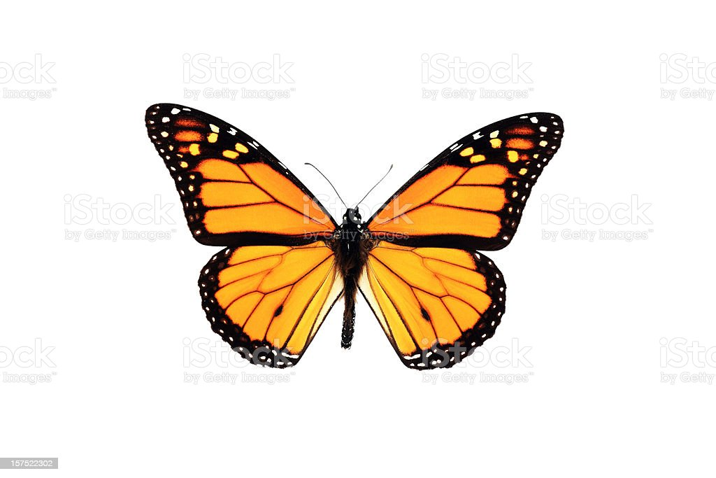 Monarch Butterfly Isolated on White Background stock photo